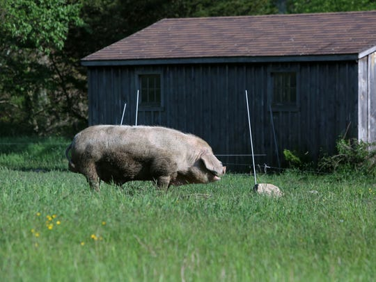 A pig at Glynwood Center, an organization whose mission