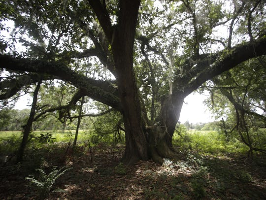 Existing trees, like this one pictured June 2, will