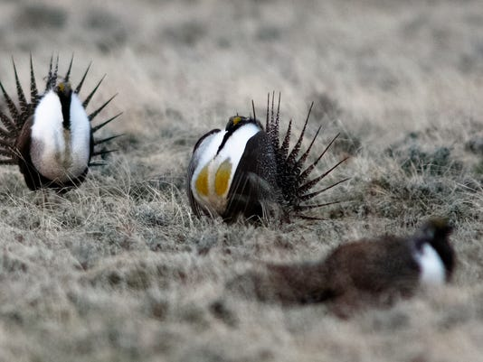 1 sage grouse