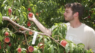 Peaches plentiful in Hudson Valley after sparse 2016