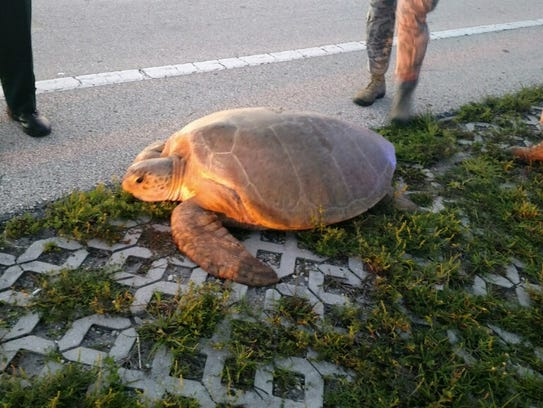 A 300-pound turtle was rescued after it wondered onto