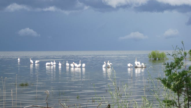 American white pelicans, native to Door County, have returned in large numbers now that pesticides have subsided from waters surrounding the county.
