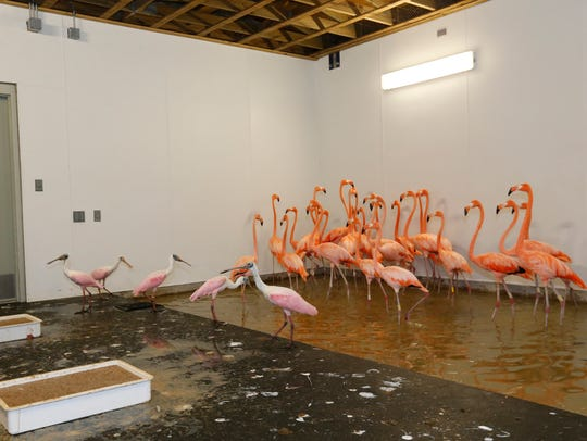 Flamingos, rear, and roseate spoonbills, left foreground,