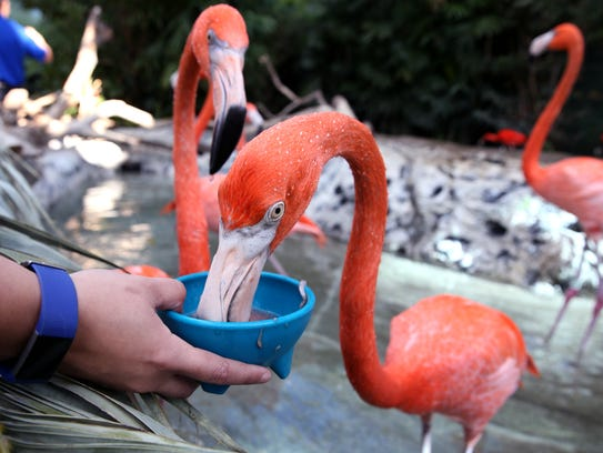 Flamingos are fed during a new Exclusive Encounters