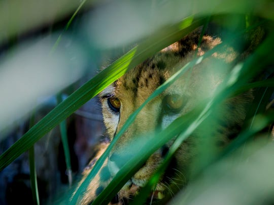 Donni rests in the tall grasses of the yard after running in the Cincinnati Zoo & Botanical Garden's Cheetah Encounter Friday, June 9, 2017.