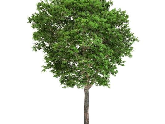 041416-sn-ashtree.jpg