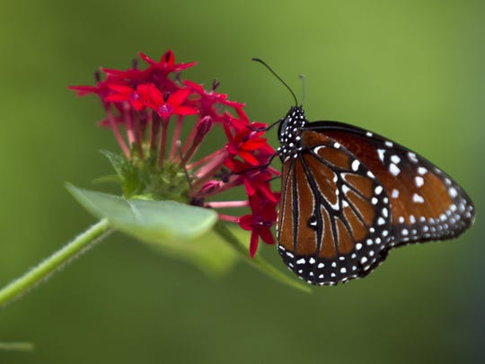 Butterflies are often released into the Rotary Park gardens as pollinators.