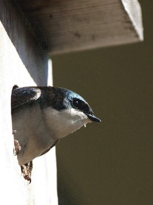 Donna Dewhurst, U.S. Fish and Wildlife Service Insect-eating tree swallows, with iridescent blue upperparts and snow white underparts, nest in standard bluebird houses. Adding an extra bird house lessens the competition for housing.