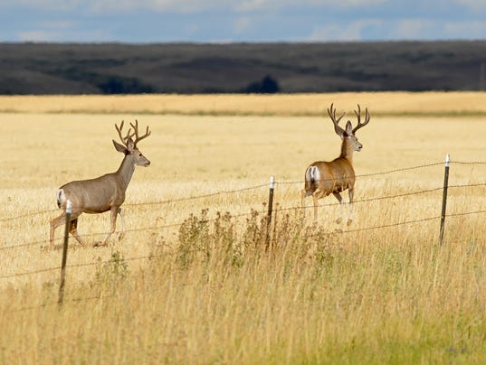 -08182015_mule deer bucks-c.jpg_20150819.jpg