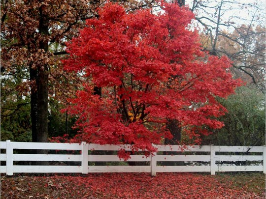 A maple blazes in full fall color in this image from