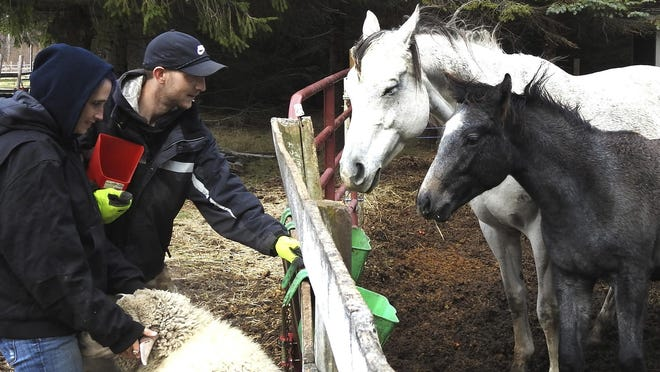 Jordan Purol and Angela Verville feed a mare and her foal at the Sunrise Animal Sanctuary near Ossineke, Mich., on Friday, Nov. 13, 2020. The sanctuary offers refuge and welcome for animals that have been abused, neglected, or cast out of their homes and is also a place where people battling addiction can feel like they are valued and needed, despite their scars.