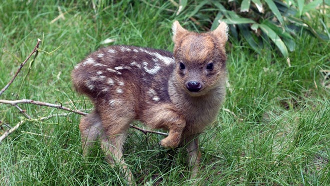 In this May 27, 2015 photo provided by the Wildlife Conservation Society, a southern pudu fawn walks in its enclosure at the Queens Zoo in New York. The male southern pudu  fawn, the world's smallest deer species, was born May 12 at the Queens Zoo. Southern pudus tend to be around a foot tall at the shoulder. When they're born, they're only 6 inches high, and weigh less than a pound.  (Julie Larsen Maher/Wildlife Conservation Society via AP)
