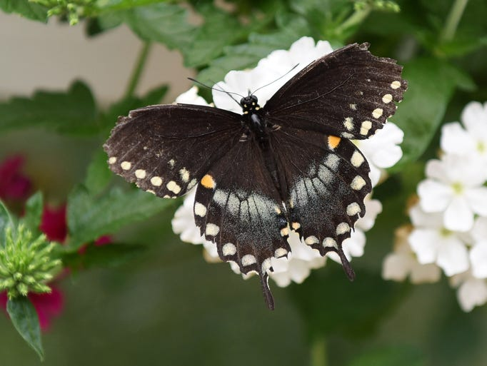 A Pipevine Swallowtail butterfly at Brenda's Butterfly
