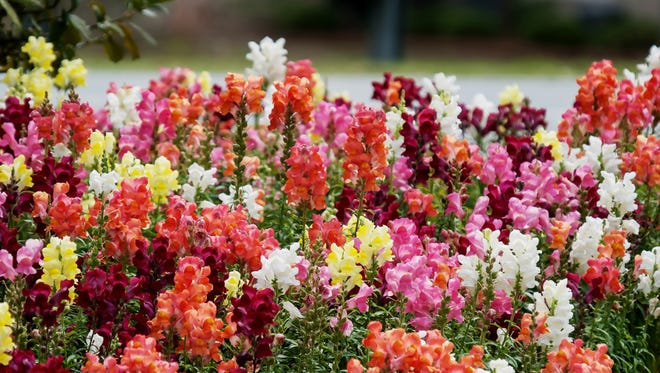Speedy Sonnet snapdragons bloom faster under shorter day lengths.