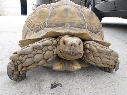 150-pound tortoise found by police, reunited with family