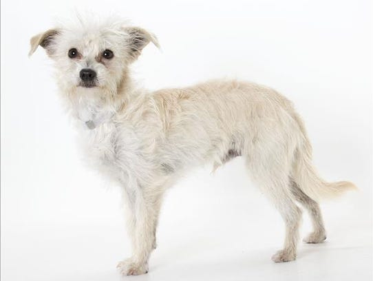 Pepe, 1-year-old male terrier mix dog. No. 100613.