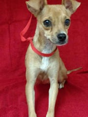Lola is a 2-year-old, female, 12-pound terrier mix who gets along well with other dogs and is leash trained. The $50 adoption fee helps cover spay/neuter, vaccinations, microchip, vetting, food and care. Call Pets Without Partners at 243-6911. Go to www.petswithoutpartners.org.