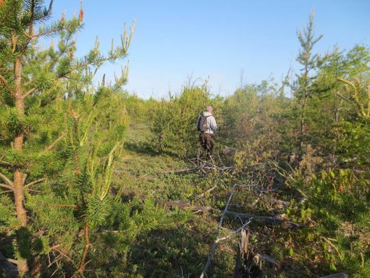 Volunteers walk through Kirtland's warbler breeding
