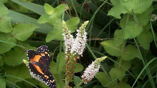 Mint plant stems that are allowed to continue to grow will flower in mid-summer. The dainty white spikes attract pollinators like this pretty black and orange Bordered Patch butterfly.