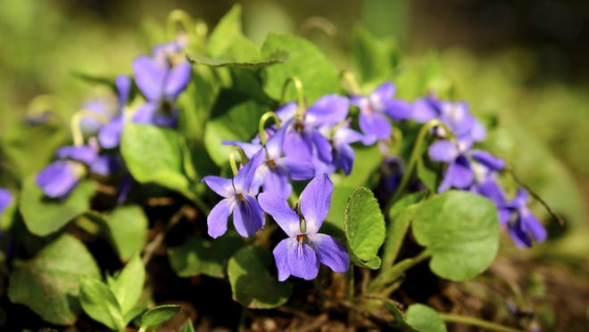 It's been a bountiful season for April violets.