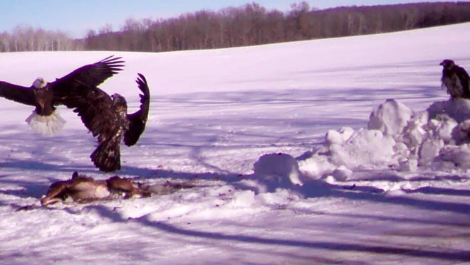The picture was taken by a trail camera and provided by Mary Kistner of rural Sheboygan County. It shows two eagles fighting over a recent car-killed deer.