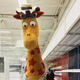 Geoffrey the Giraffe finds a new home in New Brunswick