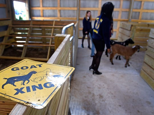 Goats are rounded up into the barn by students as part