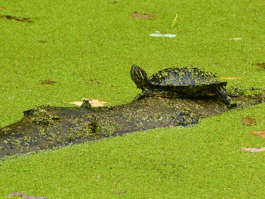 A red eared slider sits on a log in the pond at Richard