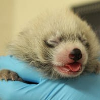 See the baby red panda born at the Binghamton Zoo at Ross Park