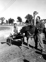 September 1955 brought ostrich racing to Plymouth's fair.