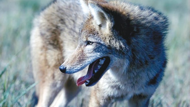 MDC is considering revised regulations allowing the use of night vision, infrared, thermal imaging, or artificial light to hunt coyotes and control feral hogs on private property.