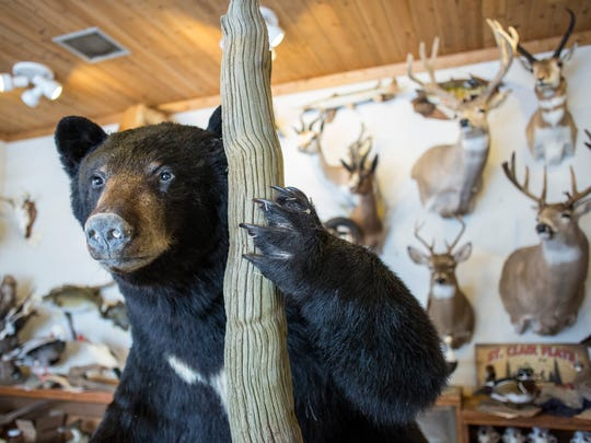 A black bear mount is in progress Saturday, March 5, 2016 at St. Clair Flats Taxidermy in Algonac.