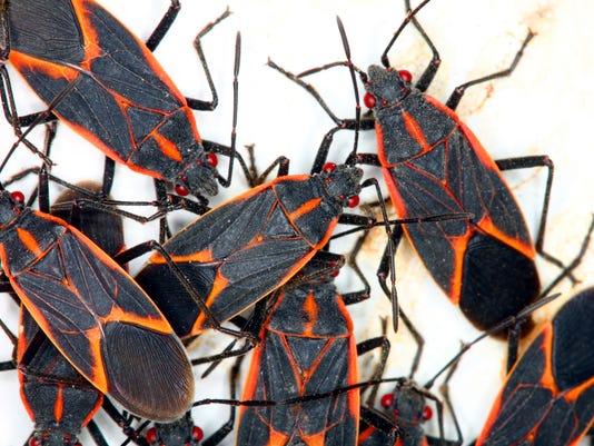 Boxelder Bugs (Boisea trivittata) Illinois