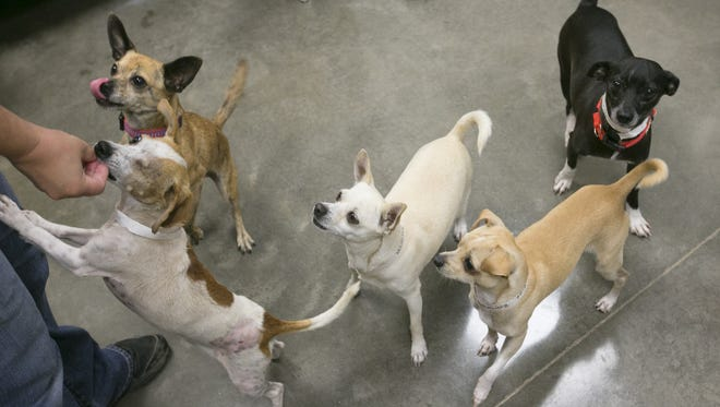 Maricopa County has appointed a new director for its animal shelter, whose the previous director resigned in the face of budget shortfalls, layoffs and criticism over the quality of its medical care. Here, Chihuahuas play at a Maricopa County Animal Care and Control shelter in 2014.