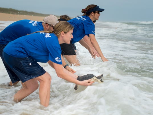 636554518083967979-Rescue-team-delivers-turtles-to-the-ocean-2.jpg