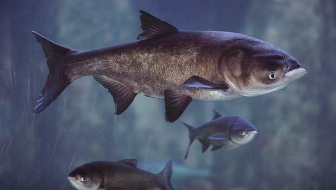 Authorities are testing Fox River waters to see if live invasive Asian carp are present.