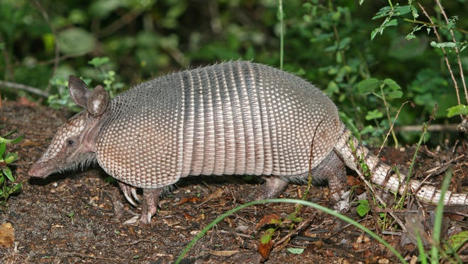 The nine-banded armadillo is about the size of a house cat or opossum with narrow, jointed armor bands on its midsection.