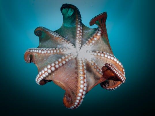 635911324182361966-octopus.jpg