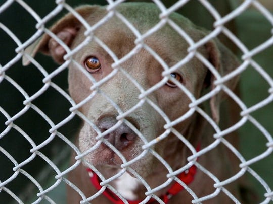 A dog that is available for adoption at Hi Tor Animal Care Center in Pomona, Jan. 11, 2016.