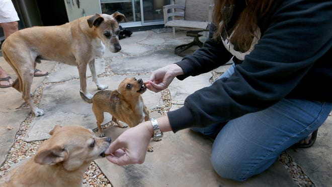 Registered Veterinary Technician Liz Hughston, of San Jose, gives her dogs Cherise, 10, a Pomeranian mix, Augie, 4, a Chihuahua mix, and Jack, 15, a Rhodesian ridgeback, counterclockwise from left, Treatibles cannabis treats on Nov. 16, 2016 at their home in San Jose, Calif. Pet treats containing cannabidiol, or CBD, are becoming popular as growing numbers of pet owners find them helpful treating anxiety, arthritis, seizures and other maladies in their animals.