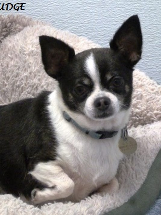 Fudge the Chihuahua 052314 (1).JPG