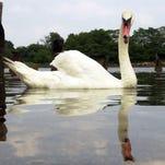 A mute swan swims in the waters near Glenn Island Park in New Rochelle.