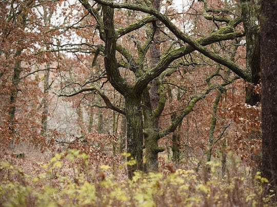 As part of the oak savanna habit restoration project underway Oct. 29, 986 acres of pine stands will be cleared and returned to pre-European settlement conditions.