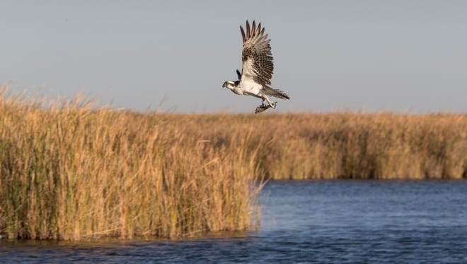 An Osprey takes flight last month with a mullet caught at the Ciénega de Santa Clara in Sonora, Mexico. More than 12,000 acres of wetlands there, near the Gulf of California, recreate a fragment of the Colorado River Delta's former rich wildlife habitat thanks to agricultural wastewater flowing down a canal from Arizona.