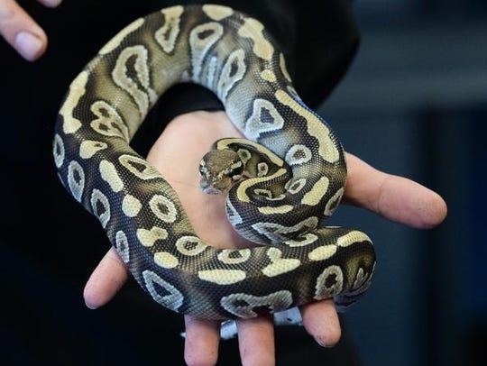 Chuck Alberding, the Wildlife Geek, holds a python