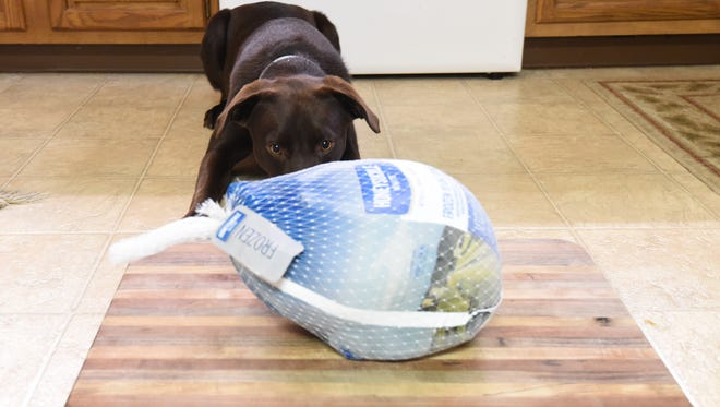 A one-year-old Chocolate Labrador Retriever named Muddy stares intently at a frozen turkey. Even though the packaging was intact, the dog could smell bird and tried to chew through the package.