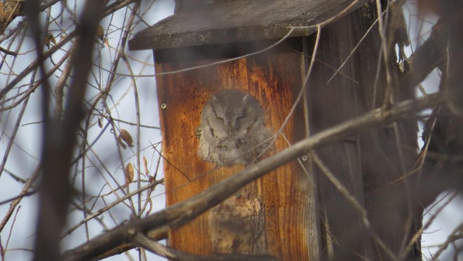 A western screech owl pokes its head out of a bird box. Beth Hill and Kristina Smucker spotted this bird during the Upper Missouri Breaks Audubon annual Christmas bird count Dec. 20.