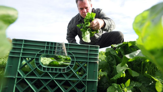 In this Oct. 15, 2014 photo, Eric Skokan cuts greens on his farm in Boulder, Colo., to be used that day in his restaurant. Skokan, chef and owner of the Black Cat Restaurant and the Black Cat Farm, has written a cookbook inspired by the seasons on the farm.