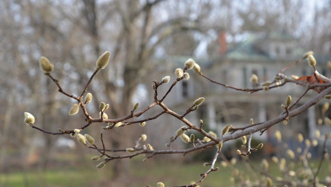 A tree starting to bud in Staunton on Dec. 27, 2015.
