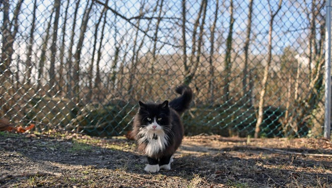 A feral cat is managed by Millville's new volunteer animal coordinator, Gary Meyer, Feb. 18 in Millville.